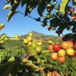 Klimaerwärmung: Wird in Zukunft der Kaffee knapp?