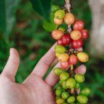 Der Aufbau der Kaffeekirsche – und wie er den Kaffeegeschmack prägt