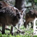 Australien - Kaffee zwischen Koalas und Kängurus