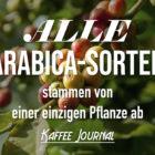 Alle Arabica-Sorten stammen von einer einzigen Pflanze ab
