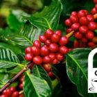 Fermentierung mit Früchten: Ein neuer Kaffee-Trend?