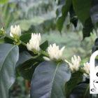 Mehr als Arabica oder Robusta – Die Vielfalt der Kaffeepflanze